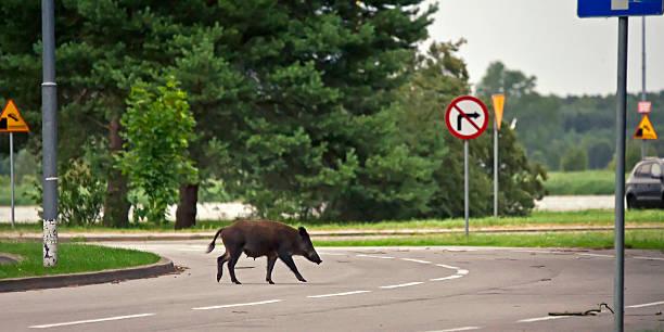 cinghiale attraversare la strada - cinghiale animale foto e immagini stock