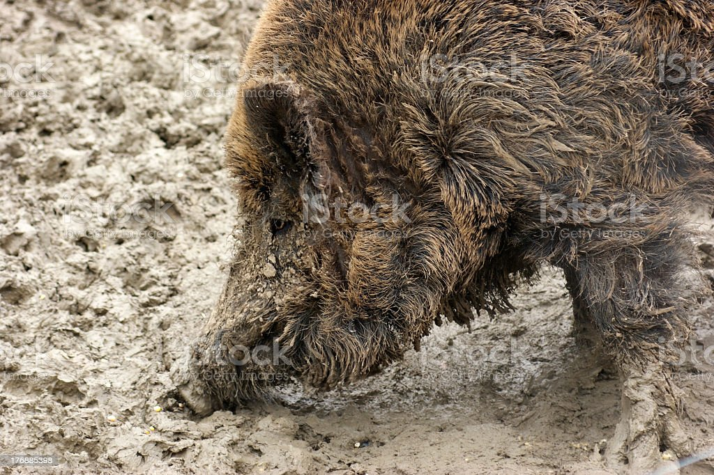Wild boar detail stock photo