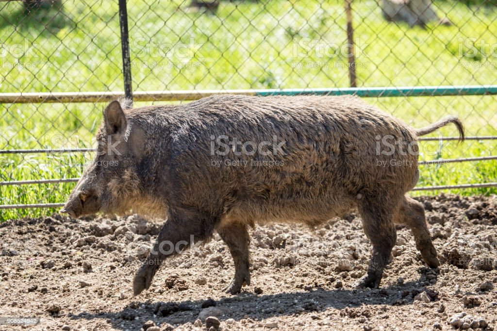 Wild boar dry dirt in the zoo stock photo