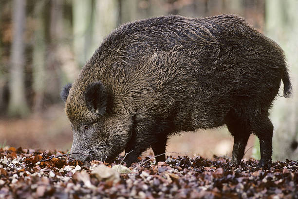 Wild Boar Eating stock photo