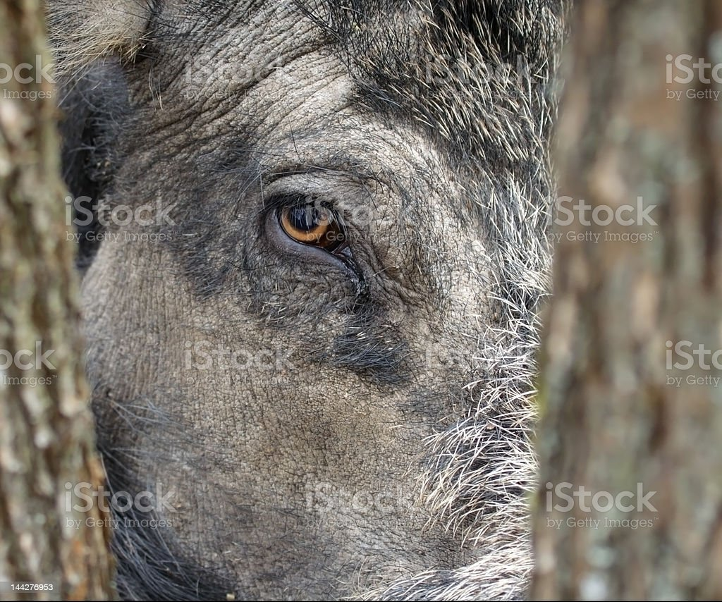 Wild boar eye. royalty-free stock photo