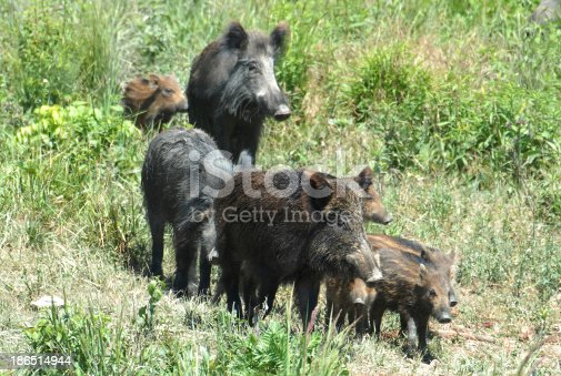 Wild Boar Family Stock Photo & More Pictures of Animal