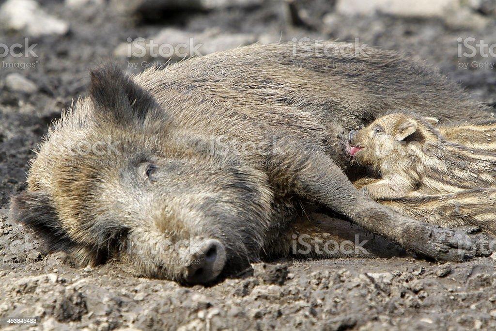 Wild boar family stock photo