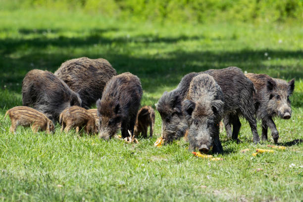 wild boar family - sow and piglets rooting for food - scrofa foto e immagini stock