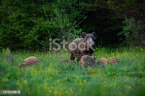 istock Wild boar female guarding her striped piglets while feeding on a green meadow 1313243618