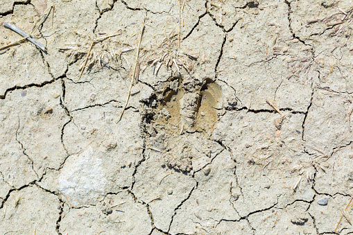 wild board footprints