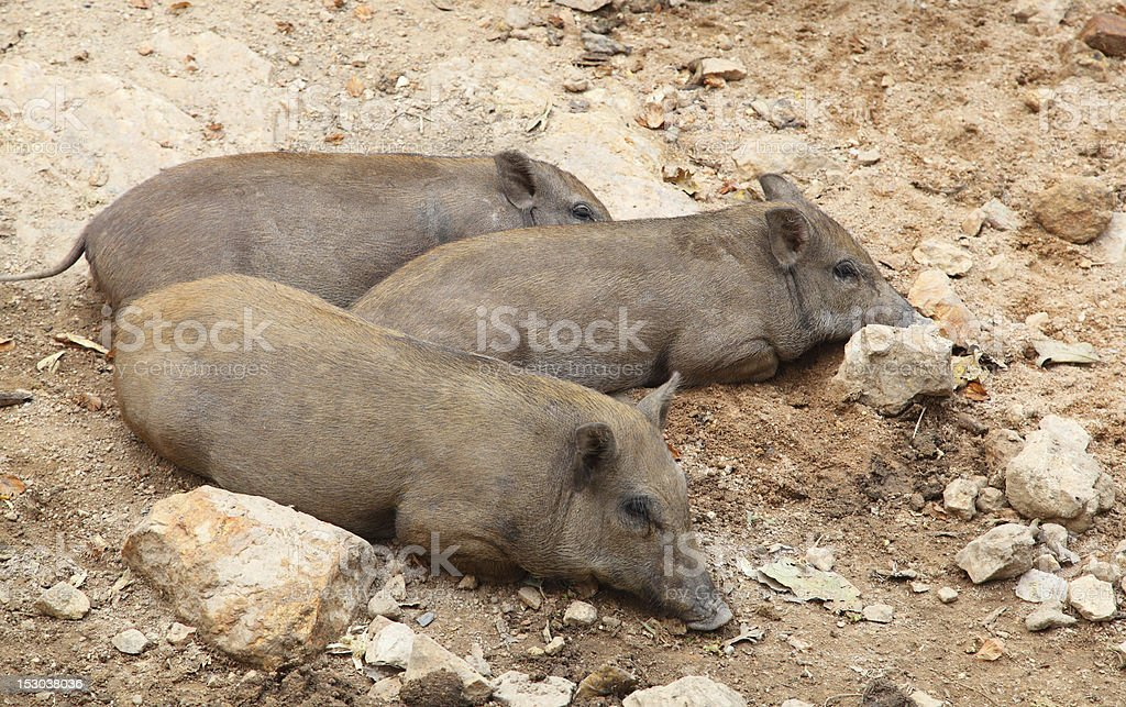 Wild boar have rest royalty-free stock photo
