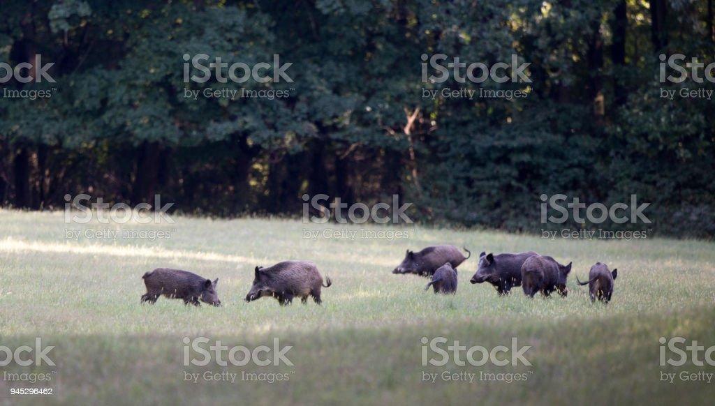Wild boar herd walking in forest stock photo