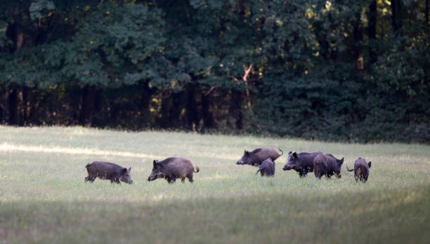 Wild boar herd walking in forest Group of wild boars standing on meadow in front of forest in summer time. Wildlife in natural habitat wild boar stock pictures, royalty-free photos & images