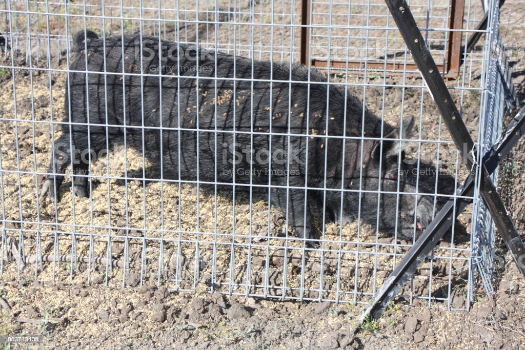 wild boar in a cage trap in new south wales australia stock photo