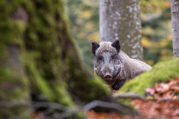 Wild boar in a forest in Germany Wild boar looking at the camera, blurred tree trunk in the foreground, Sus scrofa, Bavarian national park wild boar stock pictures, royalty-free photos & images