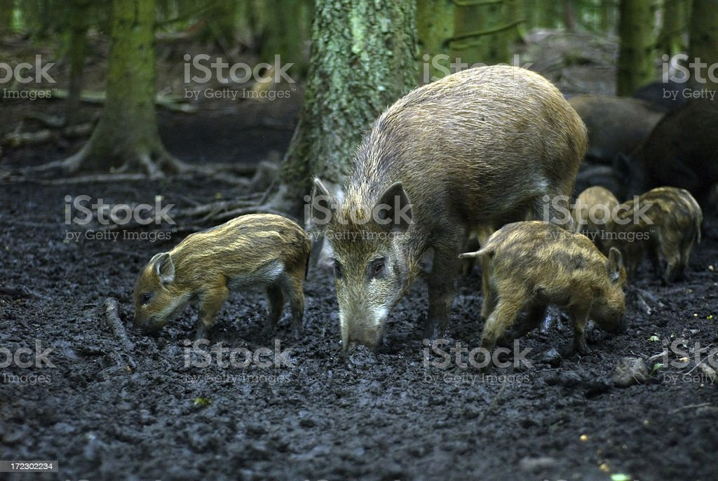 Wild Boar in a Forest royalty-free stock photo