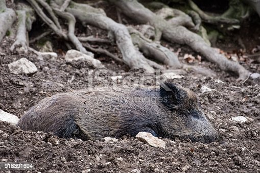 istock Wild boar in a forest 918391694