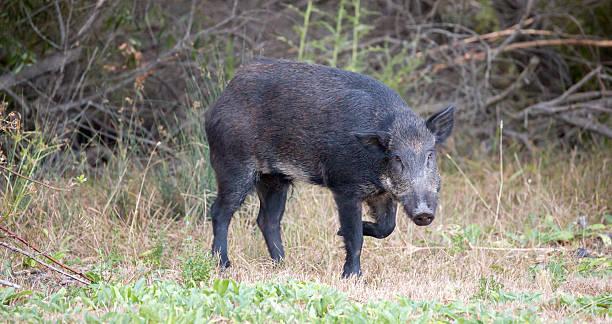 Wild Boar (Sus scrofa) in alert; Santa Clara County, California, stock photo