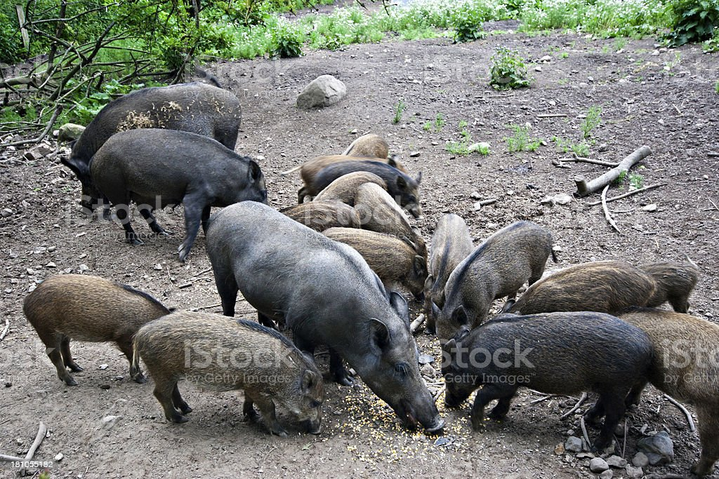 Wild boar in an outdoor pigpen royalty-free stock photo