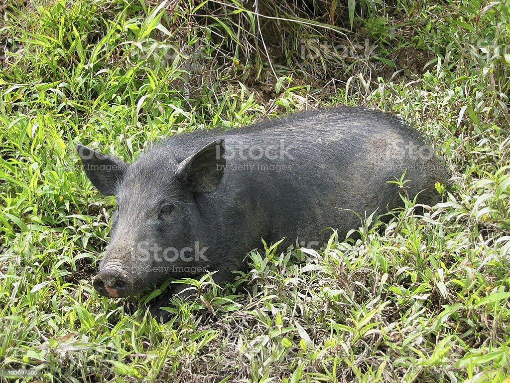 Wild Boar in Asia royalty-free stock photo