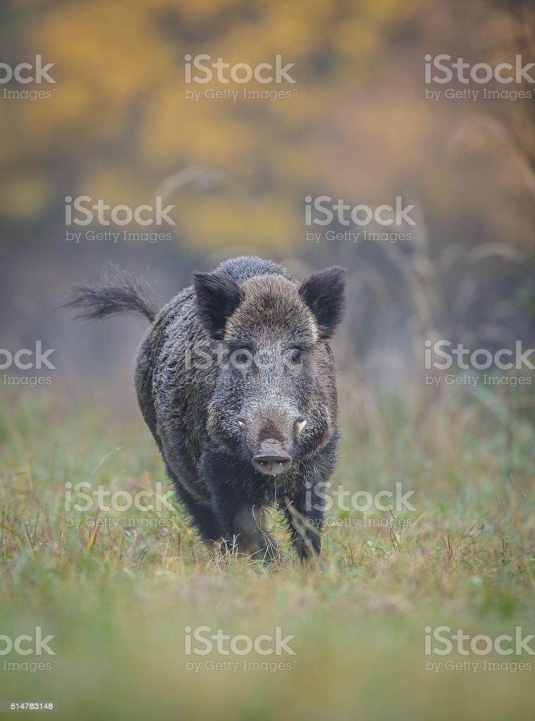 Wild boar in autumn running stock photo