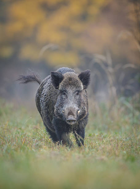 Wild boar in autumn running A wild boar running from danger, autumn colours behind him tusk stock pictures, royalty-free photos & images