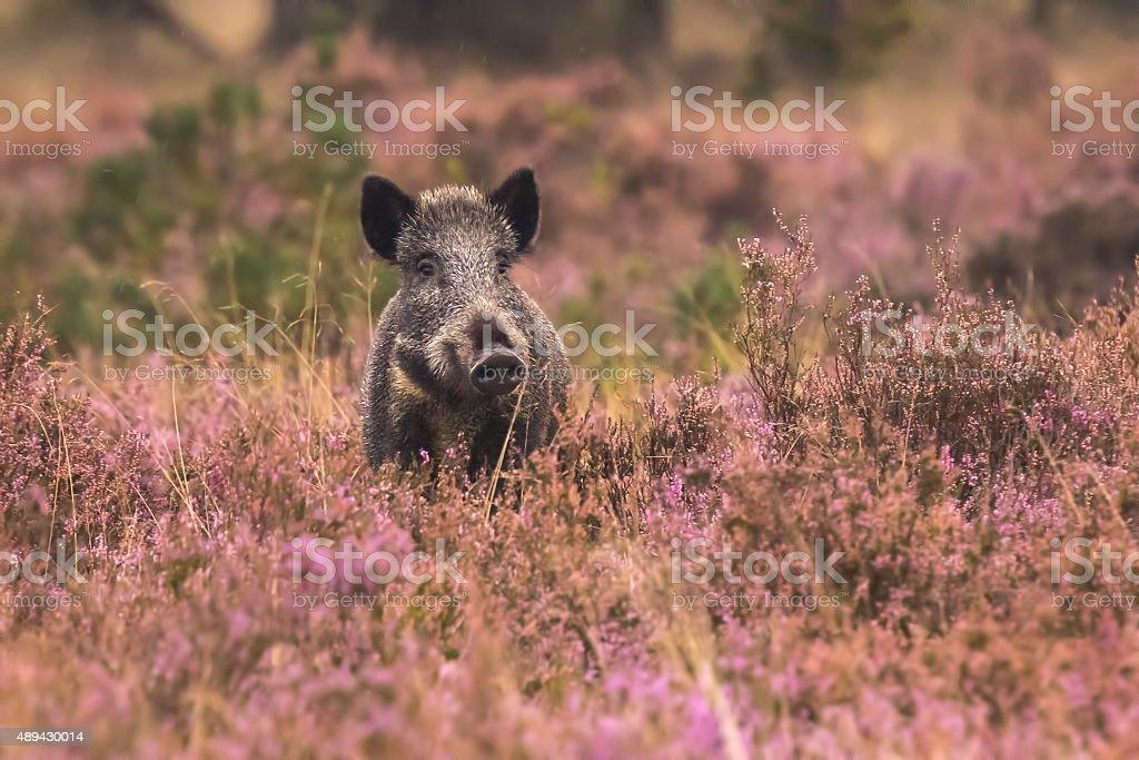 Wild boar in blooming heather stock photo