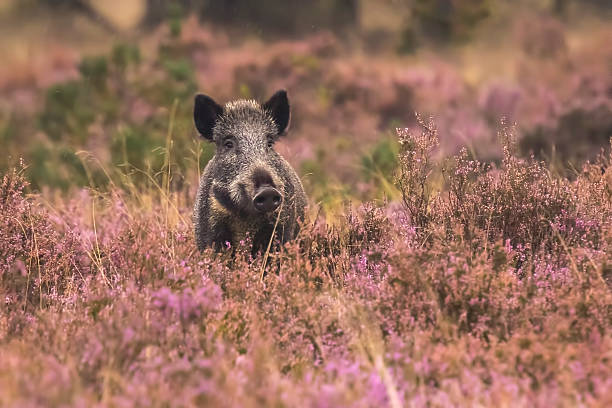 Wild boar in blooming heather A wild boar, swine or pig (Sus scrofa) foraging in a field with purple heather blooming with a forest on the background.. National park Hoge Veluwe, the Netherlands Europe. wild boar stock pictures, royalty-free photos & images