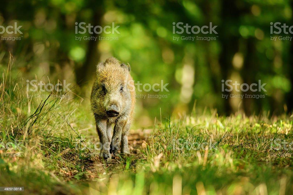Wild boar auf colorfull forest – Foto