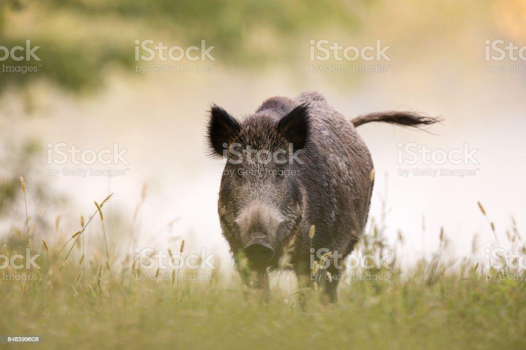 Wild boar in fog stock photo