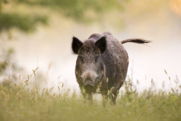 Wild boar in fog Wild boar walking on meadow on foggy morning and looking at camera. Wildlife in natural habitat wild boar stock pictures, royalty-free photos & images