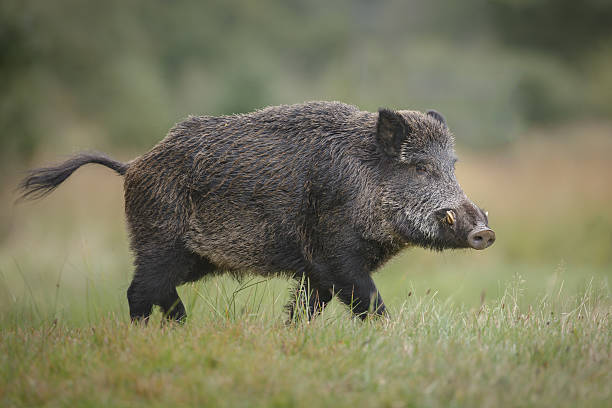 Wild boar in forest clearing A wild boar forages for acorns in autumn tusk stock pictures, royalty-free photos & images