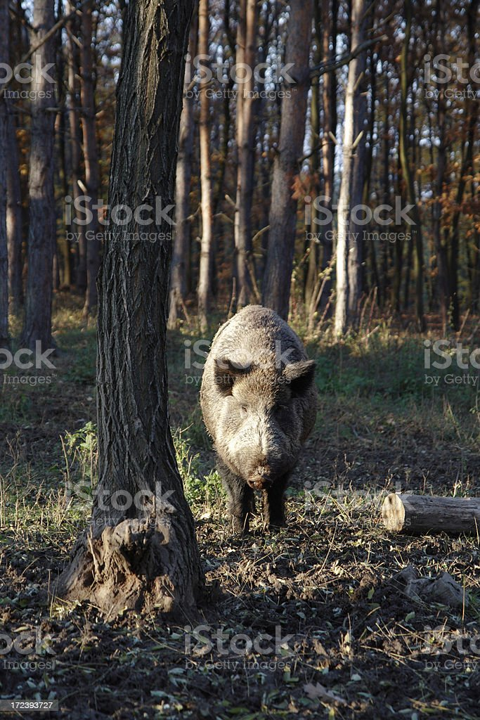 Wild boar in forest royalty-free stock photo