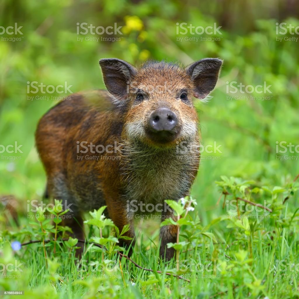 Wild boar in forest stock photo