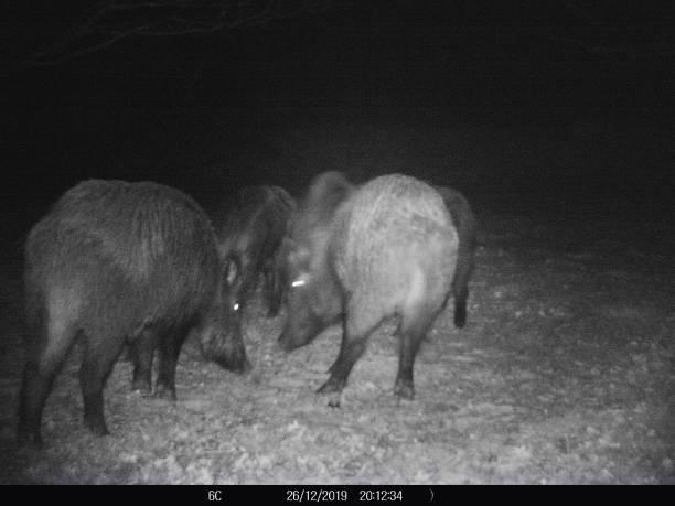 wild boar in french garden - cinghiale animale foto e immagini stock