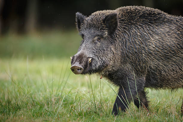 Wild boar in German forest A wild boar forages for acorns and apples in autumn tusk stock pictures, royalty-free photos & images