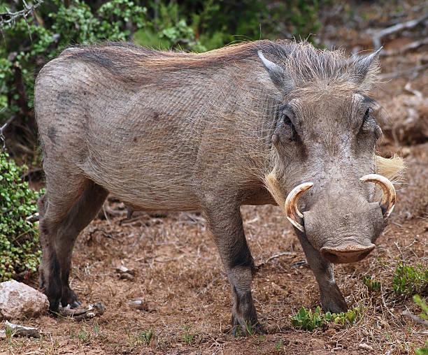 wild boar natur afrika-wild burro afrika - pig ugly stock-fotos und bilder
