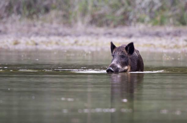 Wildschwein im seichten Wasser – Foto