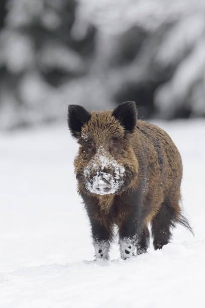 wild boar in snow - cinghiale animale foto e immagini stock