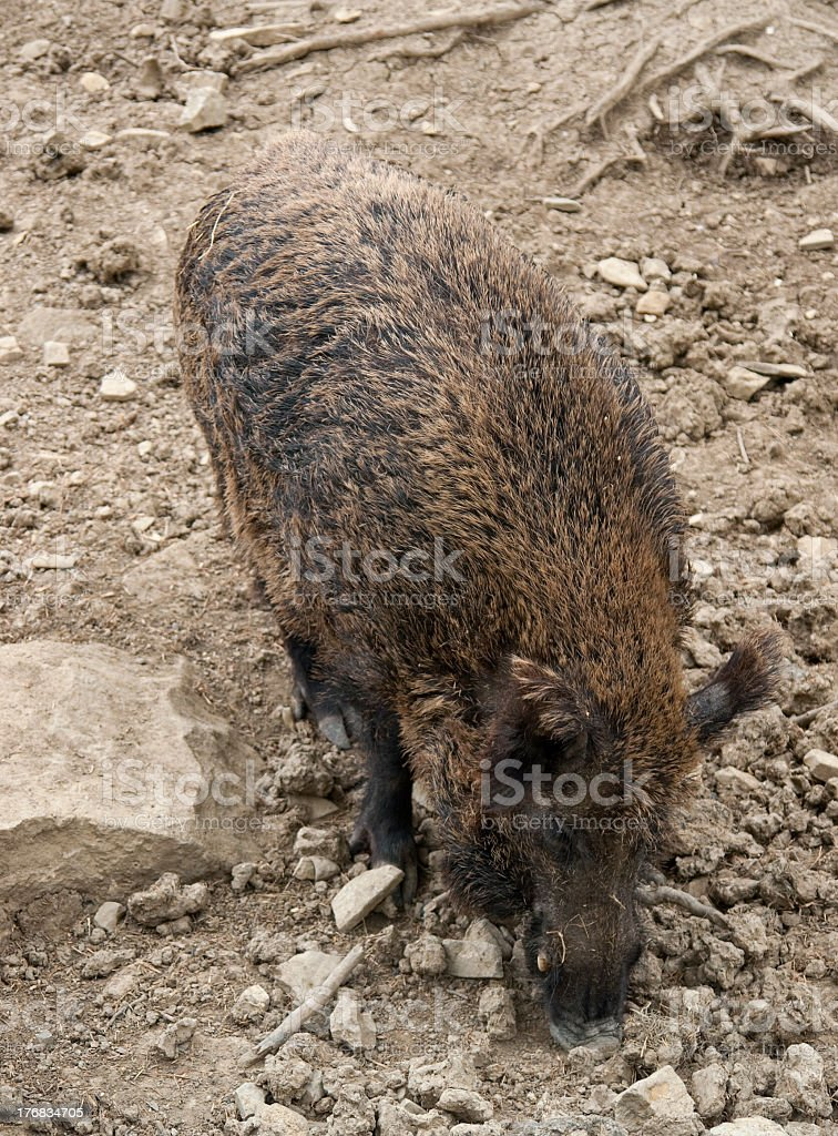 wild boar in stony back stock photo