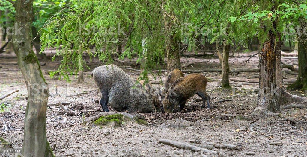 Wilde Eber im Wald – Foto