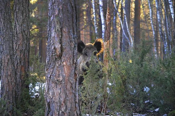 wild boar in frost - cinghiale animale foto e immagini stock