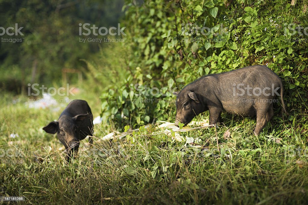 Wild boar in the frosty forest royalty-free stock photo