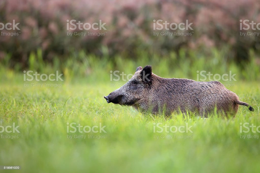 Wild boar in the grass stock photo