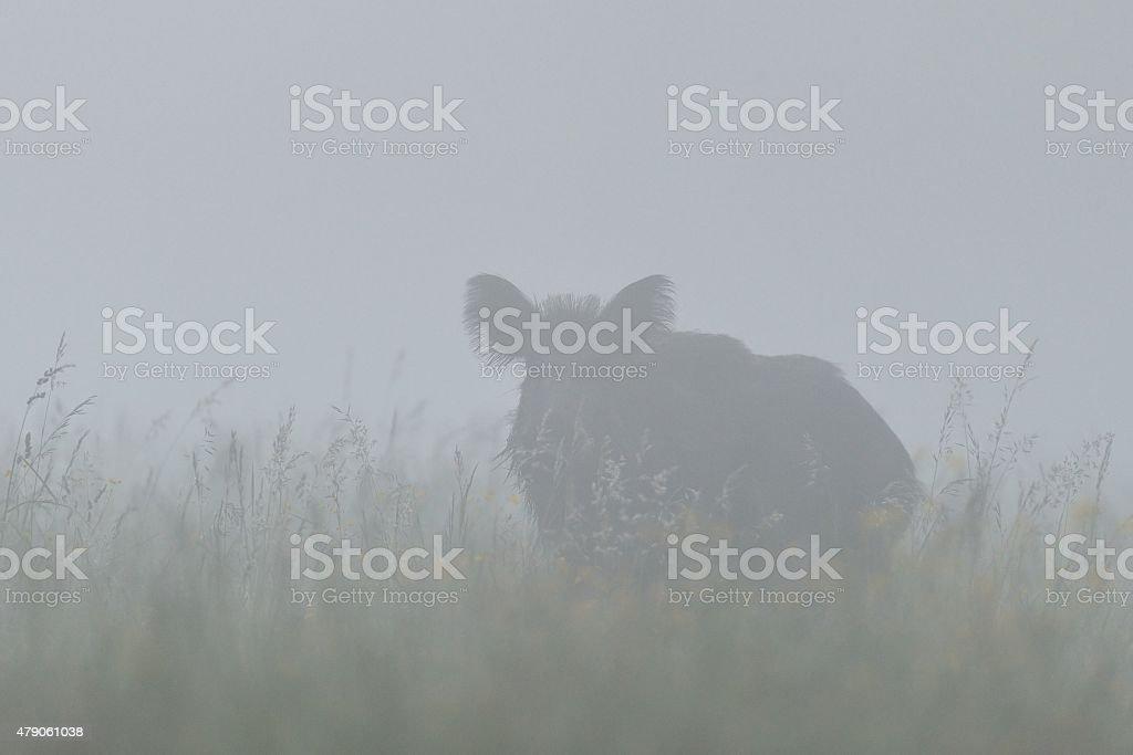 Wild boar in the mist stock photo