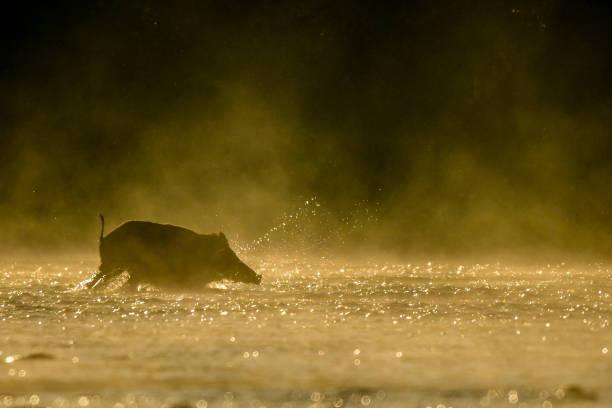Wildschwein (Sus Scrofa) im Fluss San. Bieszczady-Gebirge. Polen – Foto