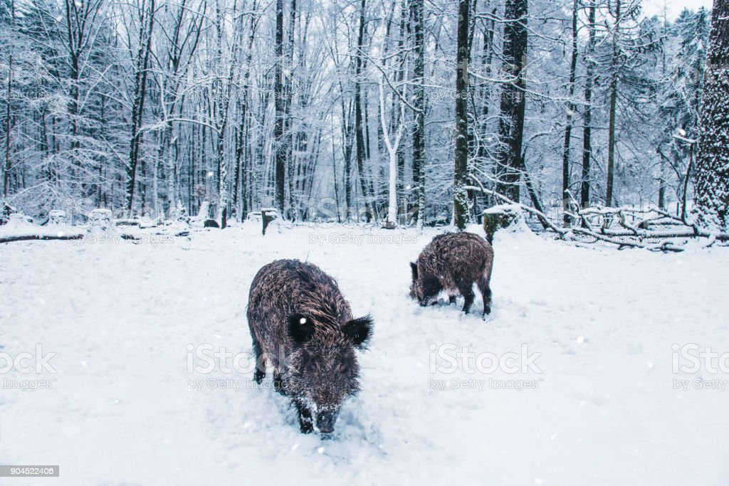 Wild boar in the winter Black Forest, Germany. stock photo