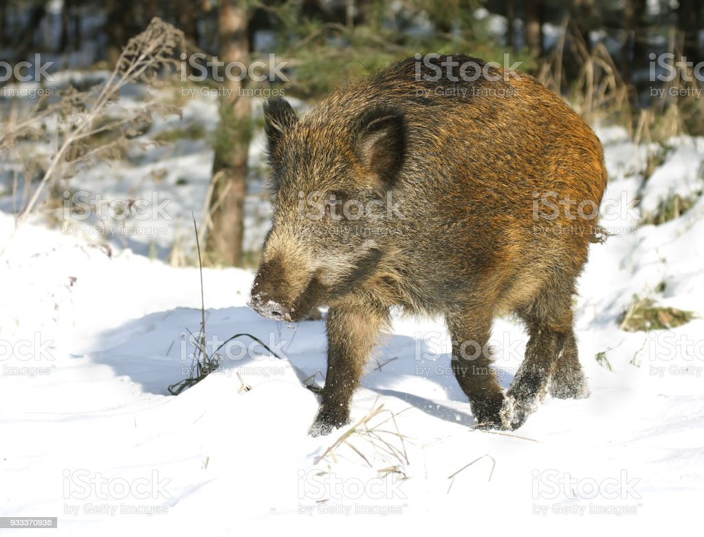Wild boar in the winter wood stock photo