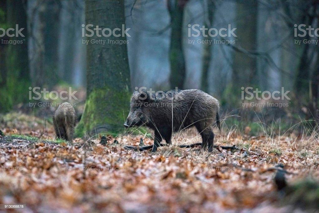 Wildschwein (Sus Scrofa) im Winter Laubwald. – Foto