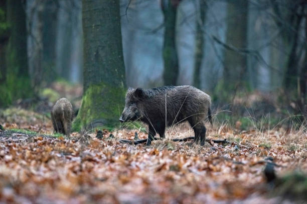 Wild boar (sus scrofa) in winter deciduous forest. Wild boar (sus scrofa) in winter deciduous forest. wild boar stock pictures, royalty-free photos & images