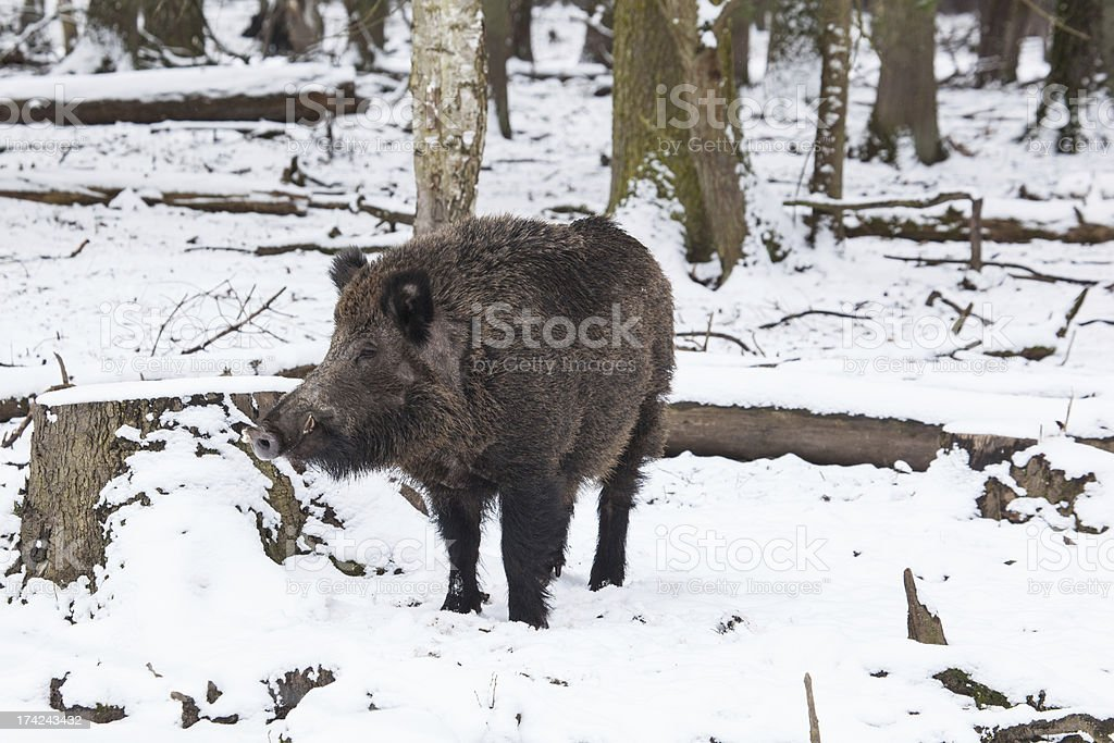 wild boar in winter royalty-free stock photo