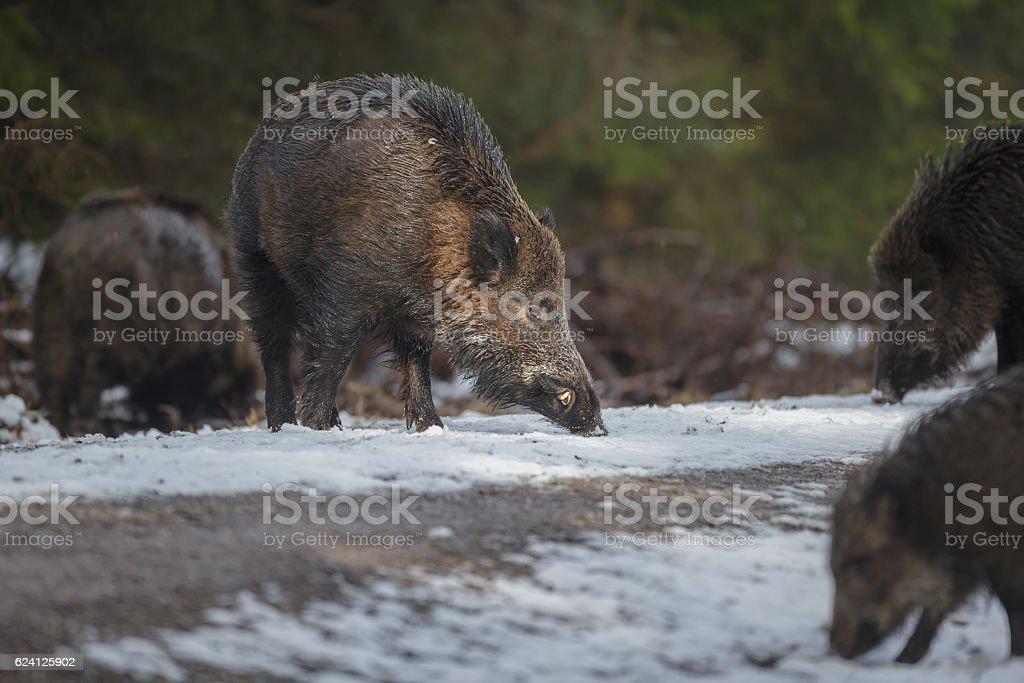 Wild boar in winter stock photo