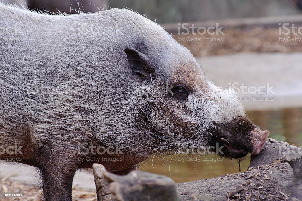 Wild boar looks for food royalty-free stock photo