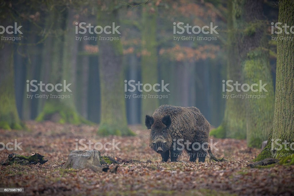Wild boar male in the forest – Foto